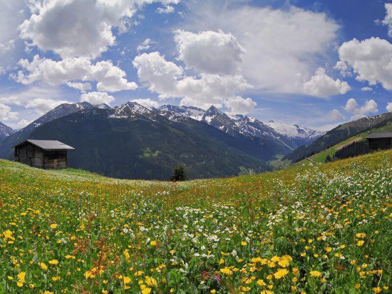 Almwiese mit Kräutern im Zillertal